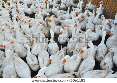 Geese poultry