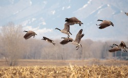 Geese starting in flight from a large field.