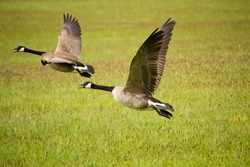 Geese taking off from grass field