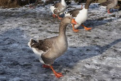 Geese walking on winter frosted farmyard on the snow.