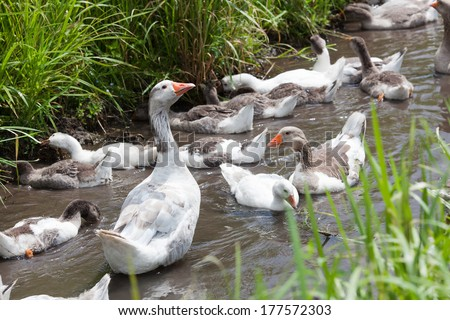 Geese with young goslings swimming in river