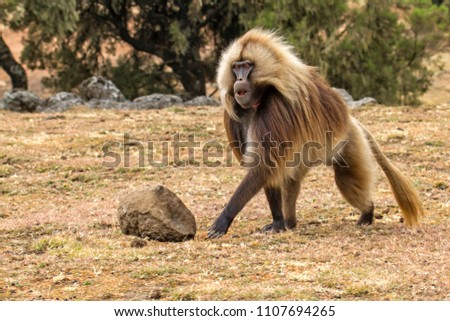 Gelada Baboon male in the Simien Mountains National Park in Amhara region in the North of Ethiopia