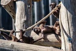 Gelada Baboon monkey. Mammal and mammals. Land world and fauna. Wildlife and zoology. Nature and animal photography.