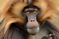 Gelada Baboon, portrait of monkey from African mountain. Simien mountain with gelada monkey. Wildlife from Africa.
