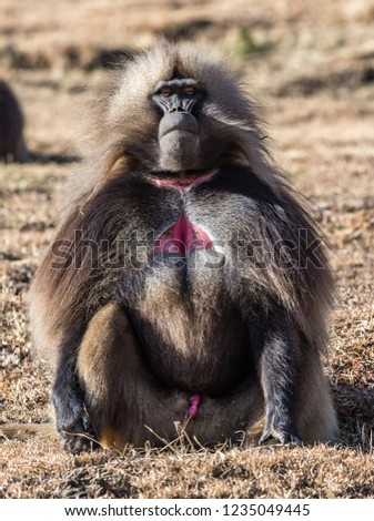 Gelada Baboon /Theropithecus Gelada/. Simien Mountains National Park. Geladas are great primates living in Ethiopia only. Africa.