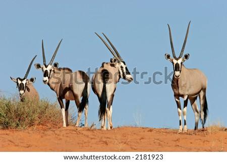 Gemsbok antelopes (Oryx gazella) on dune, Kalahari, South Africa - stock photo