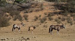 Gemsbok family (Oryx gazella) walking together in the Kalahari desert in South Africa
