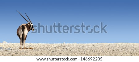 Gemsbok on white rocky soil ( Oryx gazella) - Kalahari -  South Africa
