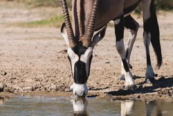 Gemsbok  or Oryx drinking at a waterhole