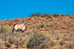 Gemsbok or Oryx standing in the hills of the Karoo