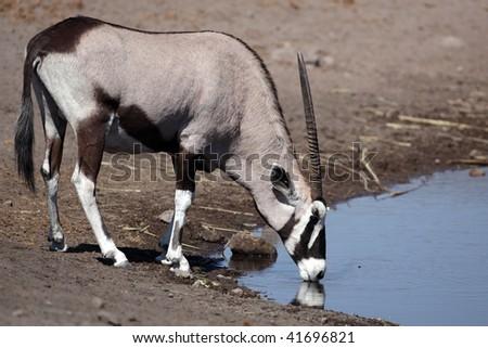 Gemsbok oryx drinking, Etosha National Park, Namibia, Africa
