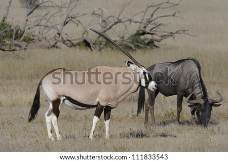 Gemsbok (Oryx gazella)  and Brindled gnu (Wildebeest) graze on grass in the kalahari desert, Kgalagadi Transfrontier Park, South Africa