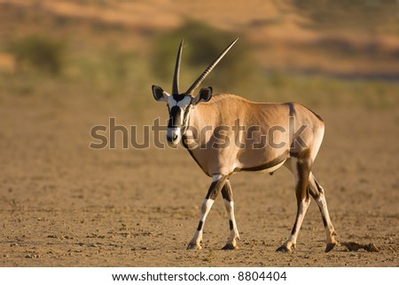 Gemsbok; oryx gazella; South Africa