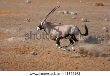 Gemsbok running at full speed over sandy soil in Etosha