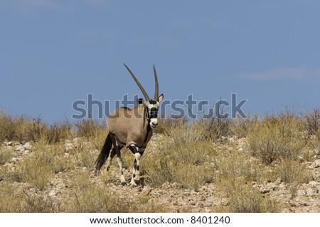 Gemsbok standing on a grassy ridge in the Kalahari
