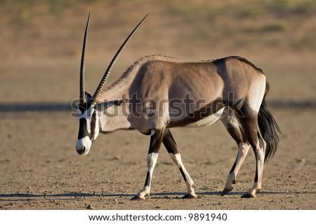 Gemsbok walking in dry riverbed; oryx gazella; South Africa