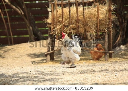 General rooster on the farm yard