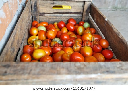 General view of freshly grown tomatoes before being washed and sent for sale. #1560171077
