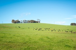 Generic green farmland with black cows standing along the ridge of a hill, with blue sky and fluffy white clouds behind.