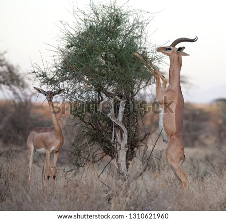 Generuk antelope feeding on the high branches in Samburu game reserve ,Kenya, Africa. Stok fotoğraf ©