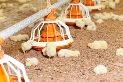 genetically modified white meat chicken in a poultry farm, grown as a business to produce a large amount of quality meat from poultry chicken