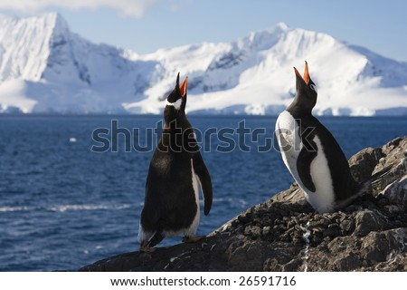 Genntoo Penguins doing a Mating Call in Almirante Brown, Antarctica