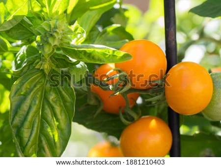 Genova basil and sungold tomatoes Companion planting  helps confuse insects seeking tomatoes to eat .  Stockfoto ©