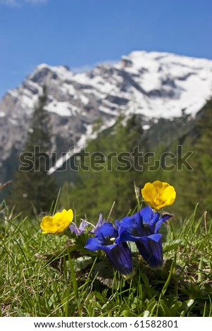 Gentian before the snowcovered mountains of Civetta