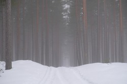 Gentle fog in a winter pine forest