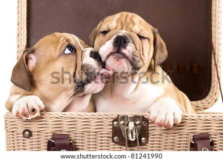 gentle kiss an English bulldog puppies