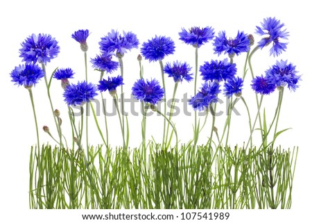 Gentle lonely blue cornflowers and buds  meadow fragment concept border. Isolated on white. - stock photo