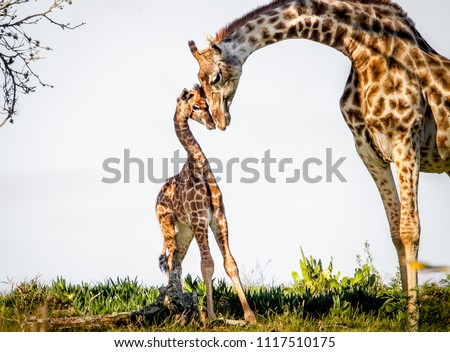 Gentle moment between a mother giraffe and her baby. Game park, South Africa #1117510175
