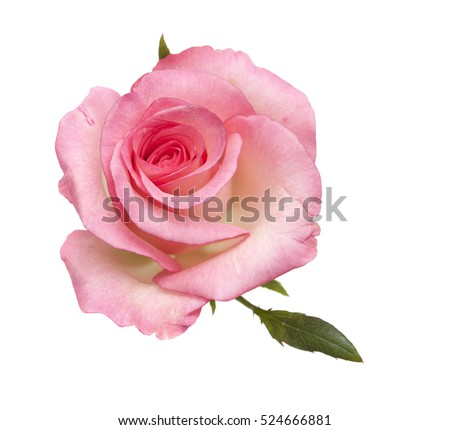 gentle pink rose isolated on white background #524666881