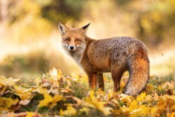Gentle red fox, vulpes vulpes, standing on orange foliage in autumn nature. Orange beast observing in fall woodland. Wild fluffy mammal looking to the camera on grass with leaves.