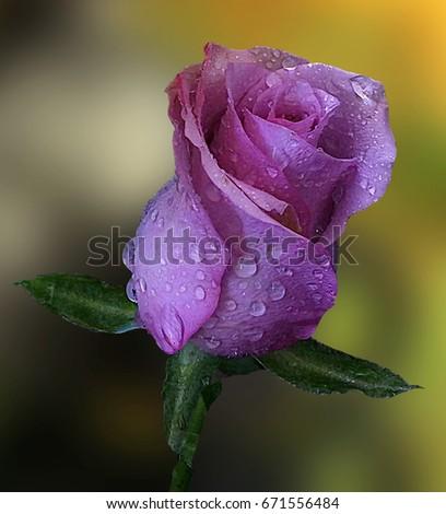 Gentle rose #671556484