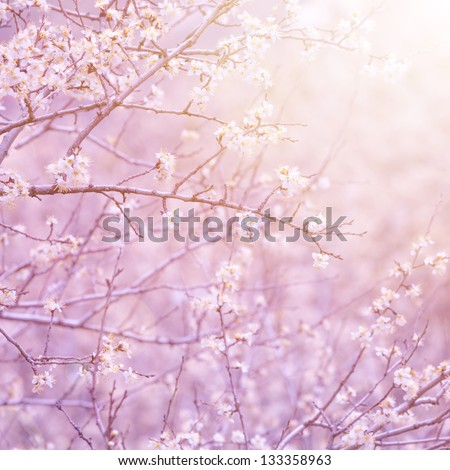 Gentle white flowers on fruit tree branch in morning purple sun light, natural background, first blooming, spring nature