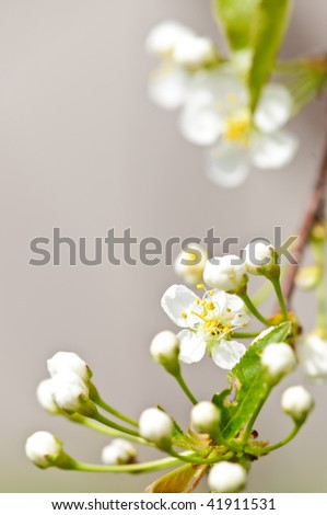 Gentle white spring cherry flower buds and blossoms