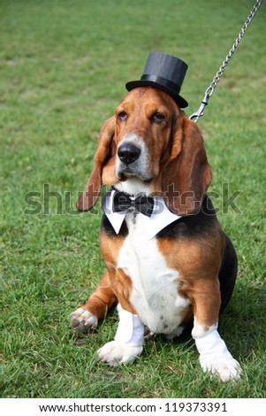 Gentleman basset hound wearing old-fashioned black hat and tie like a gentleman on the green grass