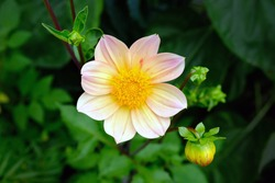 Gently pink dahlia flower top view. This type refers to single or simple. They have simple, non-double buds with one row of marginal flowers. Growing dahlias in the garden, decorating flower beds.