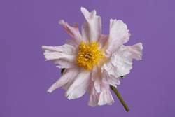 Gently pink peony isolated on a lilac background.