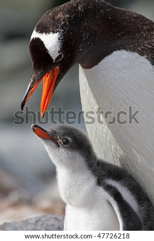 Gentoo penguin about to regurgitate krill for its chick, Antarctic Peninsula, Antarctica