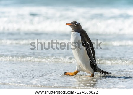 Gentoo penguin and a wave.  Falkland Islands, South Atlantic Ocean, British Overseas Territory