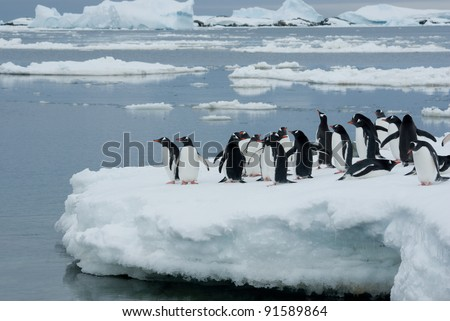 Gentoo penguin band is on the ice against the backdrop of icebergs - stock photo