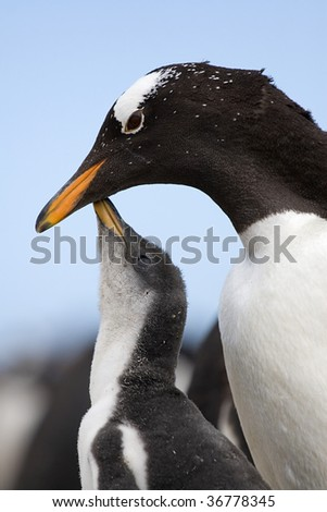 Gentoo penguin chick asking its parent for food