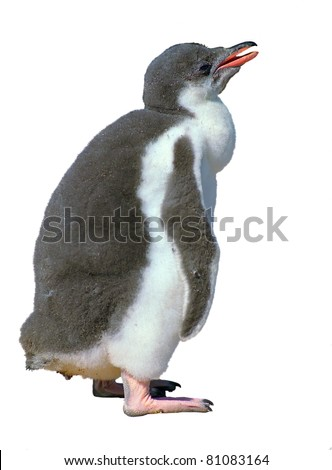 Gentoo penguin chick isolated over white