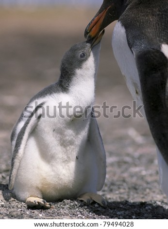 Gentoo penguin chick with mother on Antarctica coastline