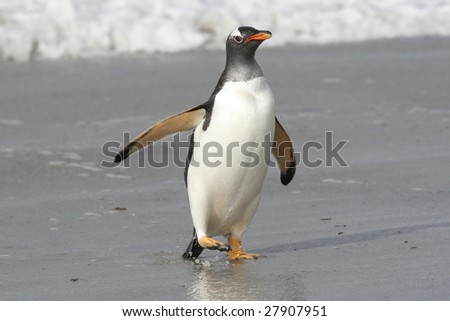 Gentoo penguin landing on the beach after a fishing trip
