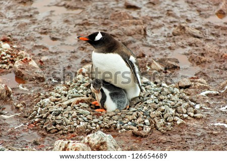 Gentoo penguin mother with chick sitting in nest, Cuverville Island, west coast of Antarctic Peninsula