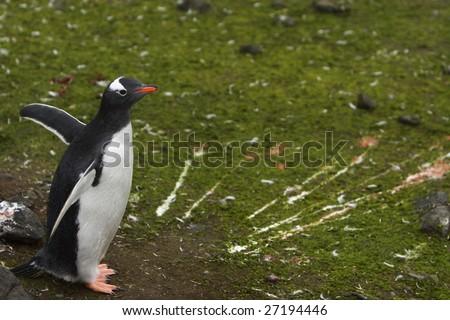 Gentoo Penguin on South Shetland Islands