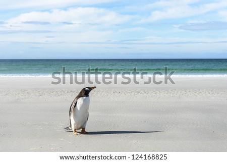 Gentoo penguin on the coast.  Falkland Islands, South Atlantic Ocean, British Overseas Territory